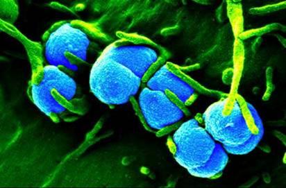 vi khuẩn lậu 1