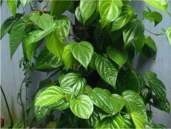 Lá trầu không có tính sát khuẩn cao giúp tiêu diệt vi khuẩn gây hại điều trị hiệu quả mùi hôi vùng kín